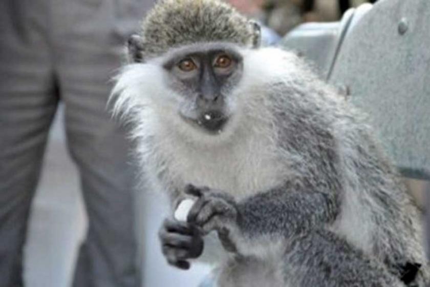 Bir maymun kabile savaşına neden oldu: 20 ölü!