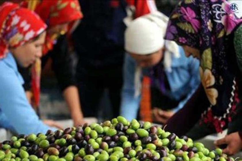Üreticiler zeytinlikleri imara açan tasarıya tepkili