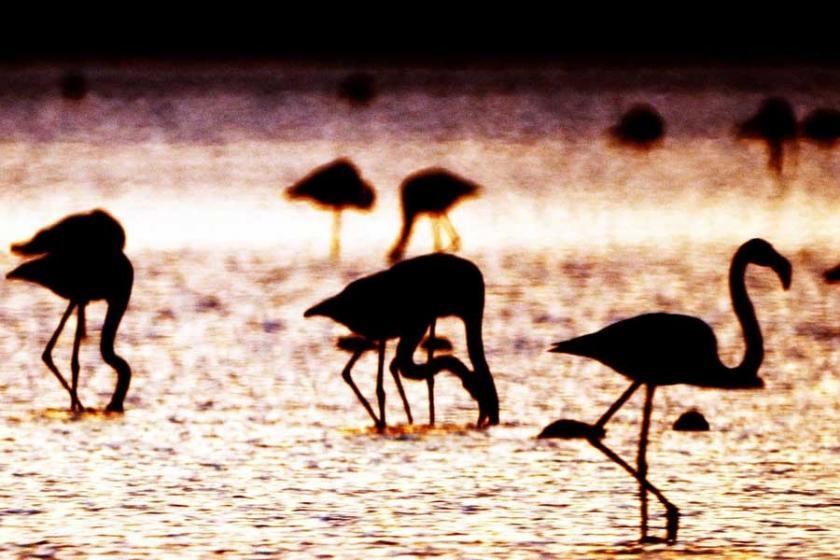 Flamingolar ayakta nasıl uyuyor?