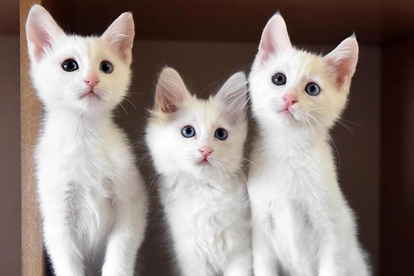 Kediler dünyaya Anadolu ve Antik Mısır'dan yayılmış