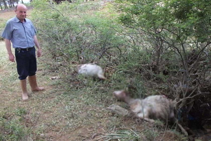 Burhaniye'de sel nedeniyle 50 keçi yaşamını yitirdi