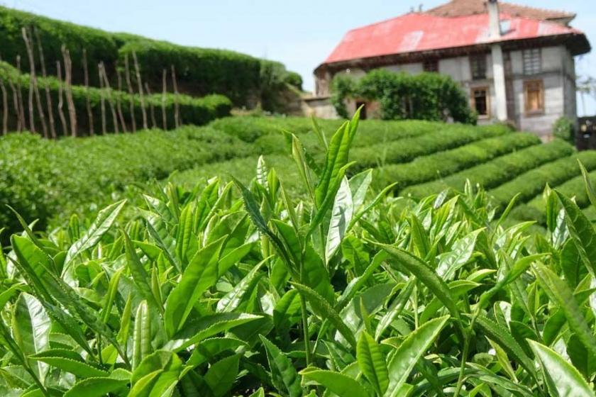 Çay Kanun Tasarısı niçin saklanıyor?