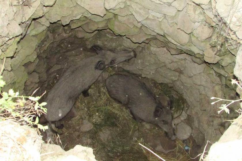 Su kuyusuna düşen domuzlar bir hafta sonra kurtarıldı