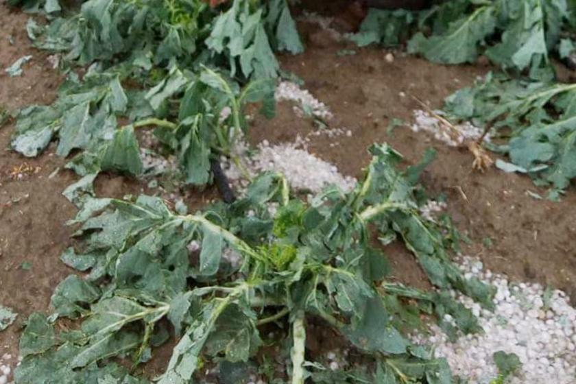 Tarım arazilerini dolu yağışı vurdu
