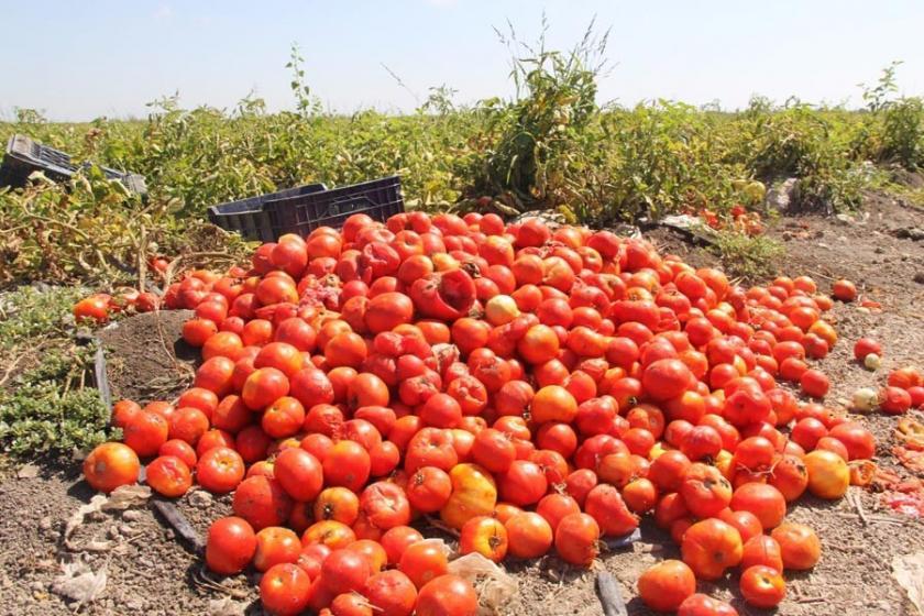 Çukurova'da domatesin yüzde 60'ı yandı