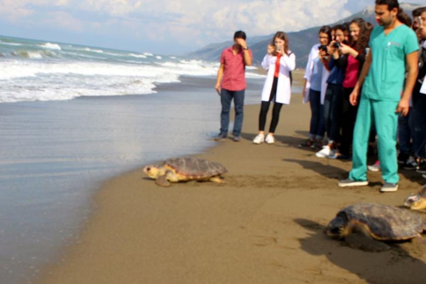 Tedavi edilen Caretta carettalar denize bırakıldı