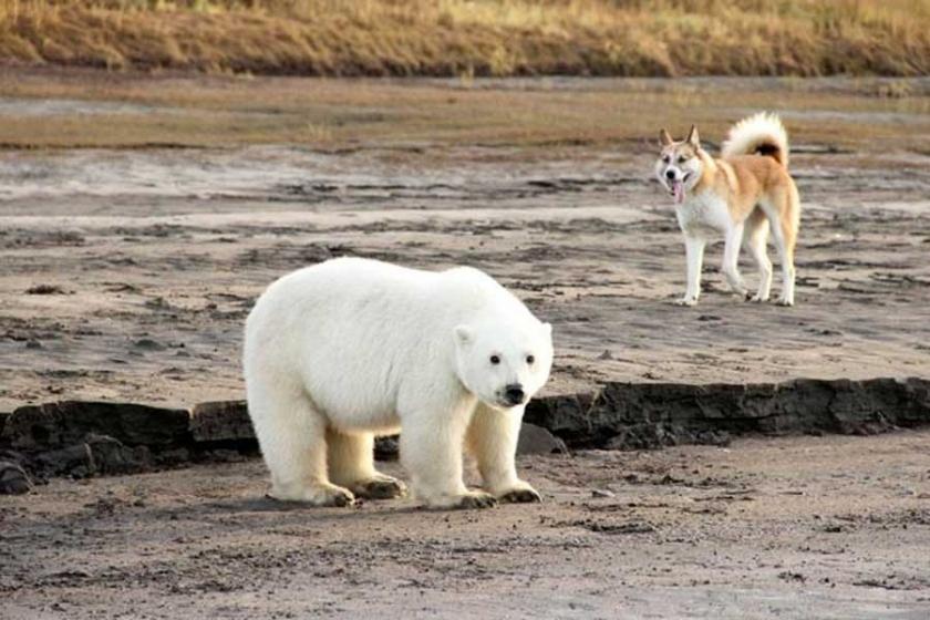 Kutup ayısı evinden 700 kilometre uzakta bulundu