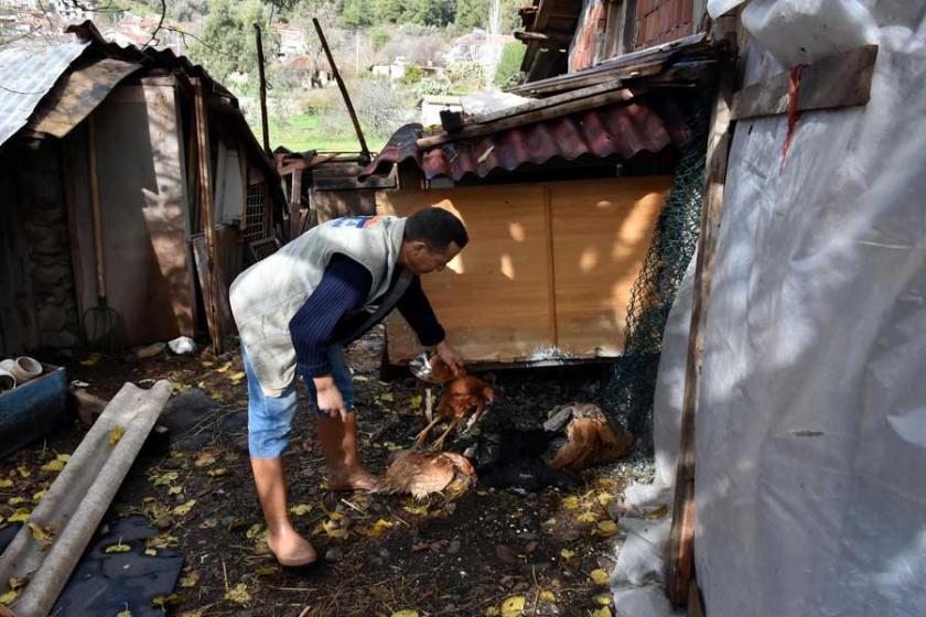 Marmaris'te şüpheli tavuk ölümleri