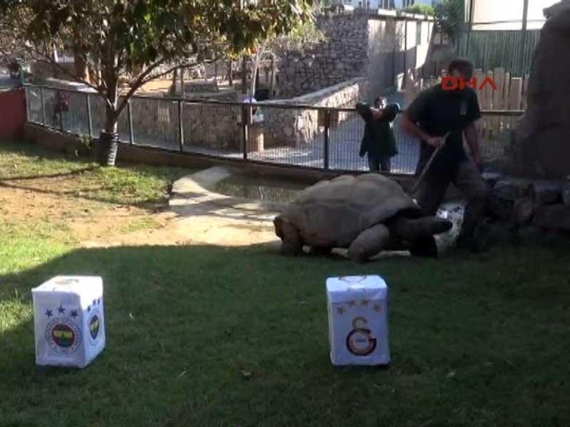 Darıca Hayvanat Bahçesindeki Tuki adlı kaplumbağa (Fotoğraf: DHA)
