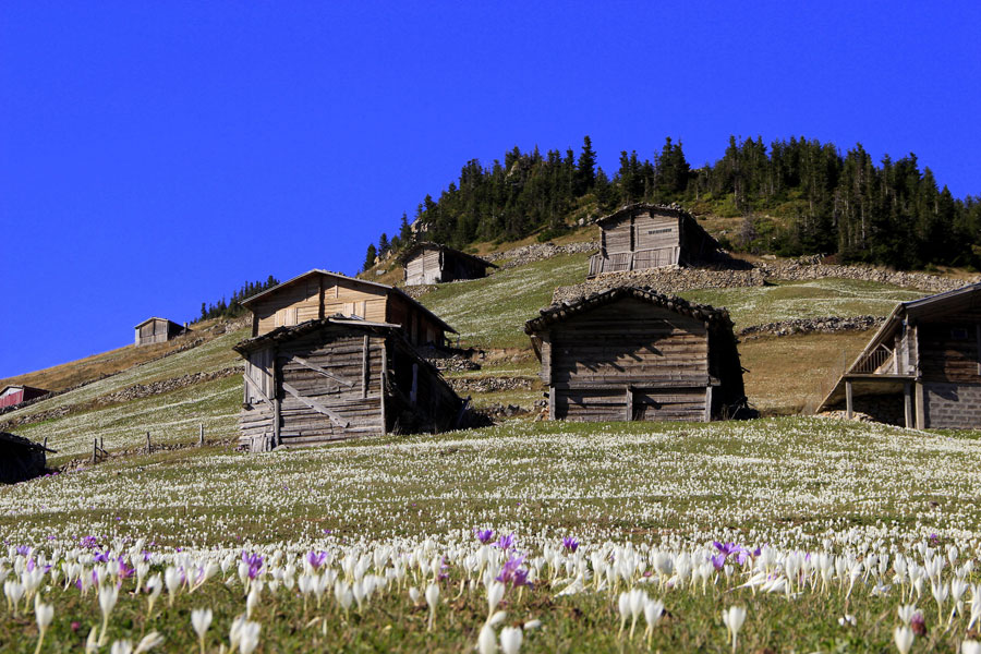 Yörede 'Vargit' olarak adlandırılan çiçekler yaylacılar için geri dönüş zamanı demek
