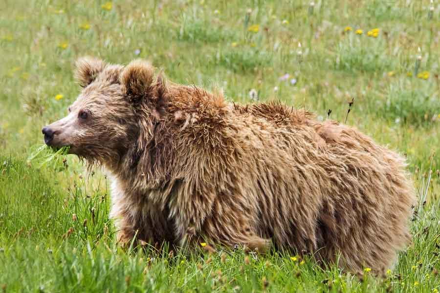 Kahverengi Himalaya ayısı
