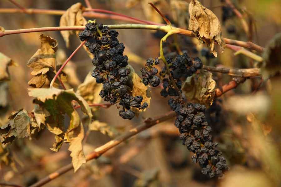 Yangın şarap üretiminde kullanılan üzüm tarlalarını küle çevirdi