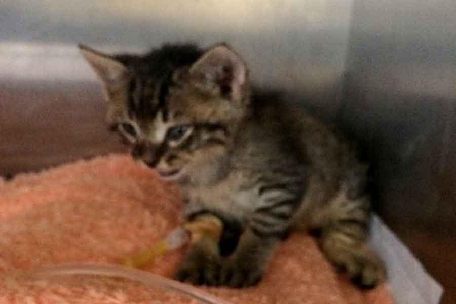 Antalyada Derisi Yüzülen Yavru Kedi ölüme Terk Edildi Evrenselnet