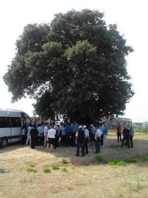 Pelit ağacı
