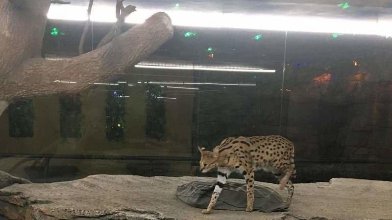 serval kedisi
