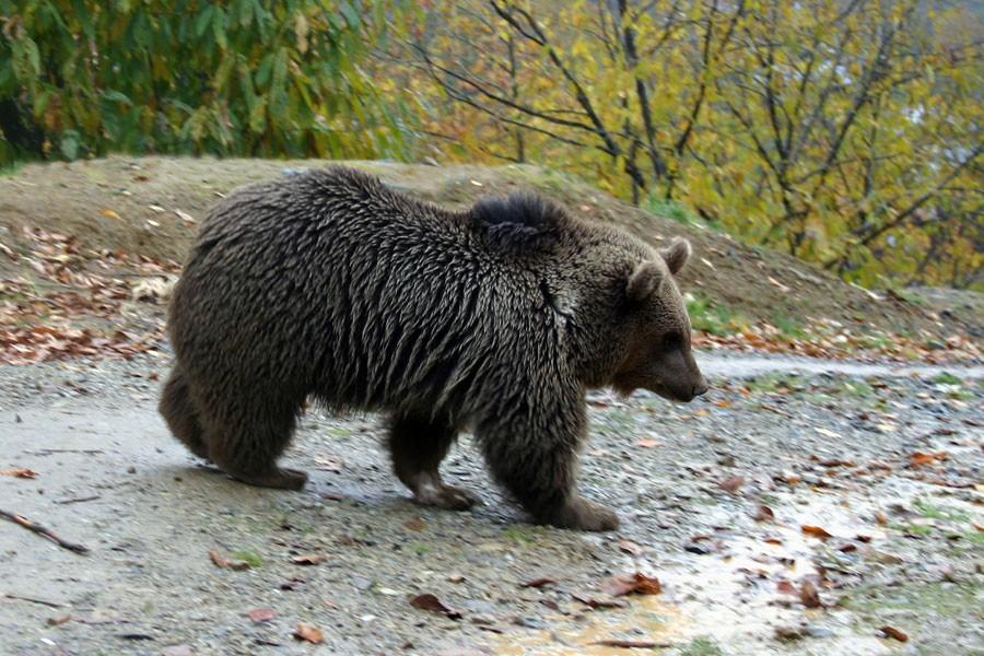 Doğu Karadeniz'de ayılara kameralı takip