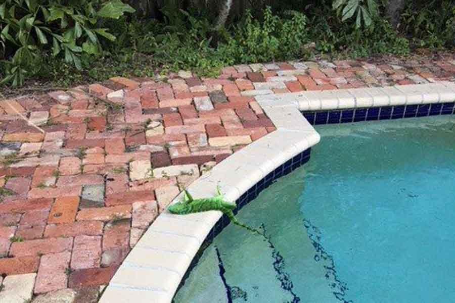 Kuzey Amerika'yı soğuk vurdu: Gökten iguana yağıyor!