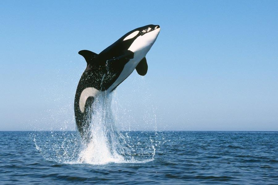 Katil balinalar insan konuşmasını taklit edebiliyor
