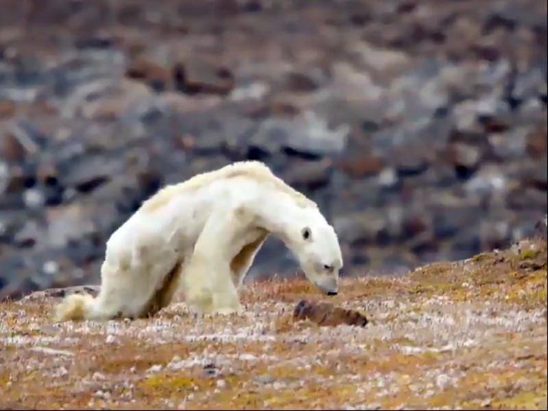 İklim değişikliği sebebi ile kutup ayılarının nesli hızla tükeniyor
