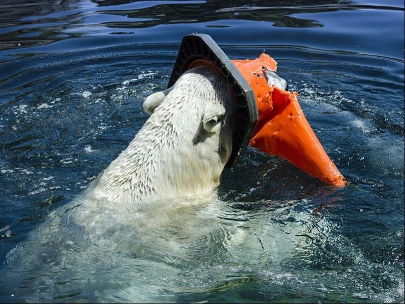 Deniz buzlarının azalması, kutup ayılarını beslenmek için çöplere yönlendiriyor