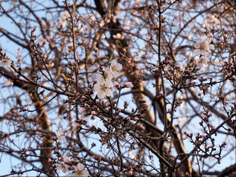 Yalancı bahara aldanan ağaçlar çiçek açtı (Fotoğraf: DHA)