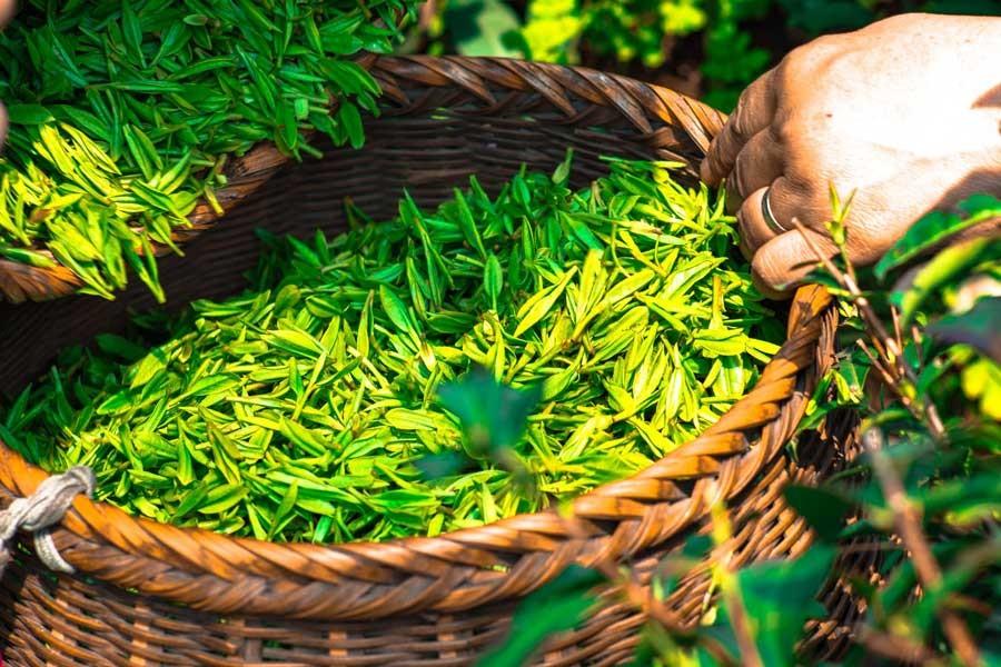 Ardeşen Ziraat Odası Başkanı: Çay'da OHAL ilan edilsin