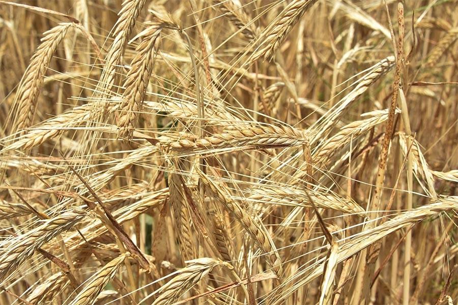 İş Bankası raporu: Yem sanayisi ithalata bağlı, tarımcılık çıkmazda…