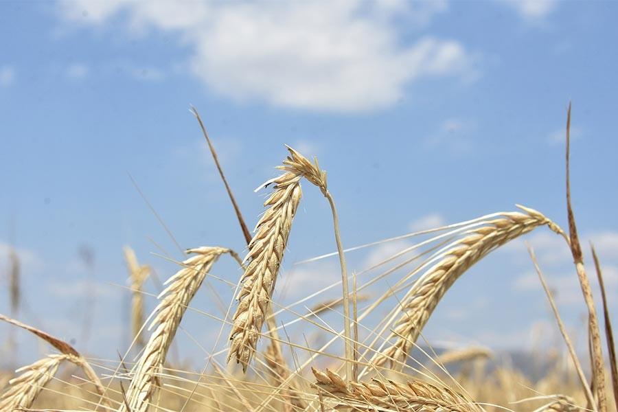 CHP'li Keven: Buğday taban fiyatı vicdanlı bir fiyat değil