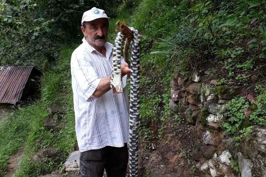 Nesli tehlike altındaki Hopa engereği, Trabzon'da öldürüldü