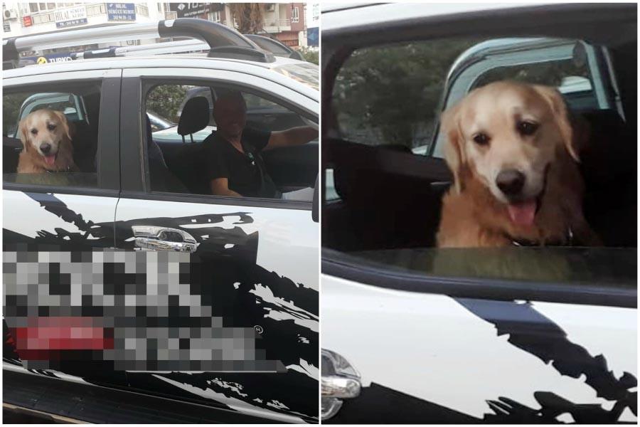 'Tarçın' köpeğe emniyet kemeri takan sürücü tebrik edildi