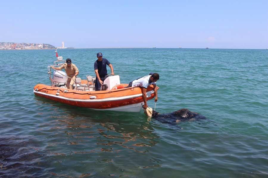 Samsun'da limandan kaçan angus denize atlayıp boğuldu