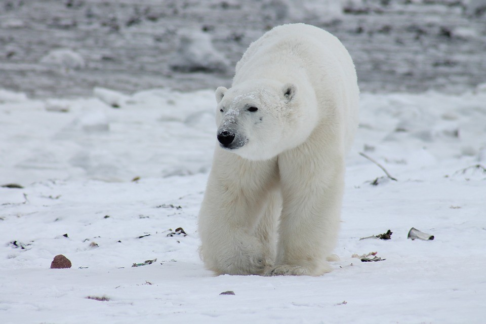Kutup ayısının doğal ortamında öldürülmesine tepki yağdı