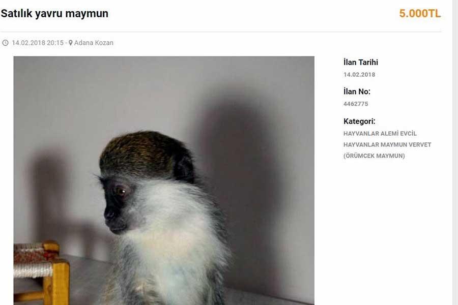 İnternetten 5 bin liraya maymun satıyorlar, cezası 415 lira