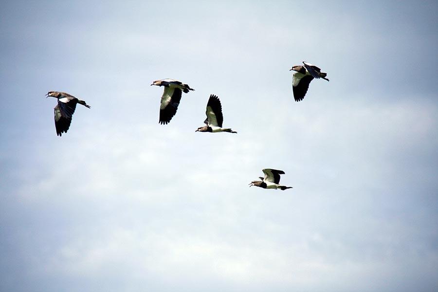'Sarhoş kuşlar' bir kasabayı ayağa kaldırdı