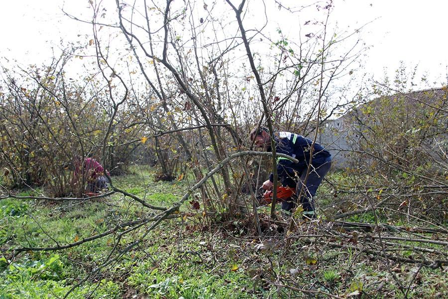 Fiyata tepki gösterdi, fındık ağaçlarını kesti: Boş dursun daha kârlı