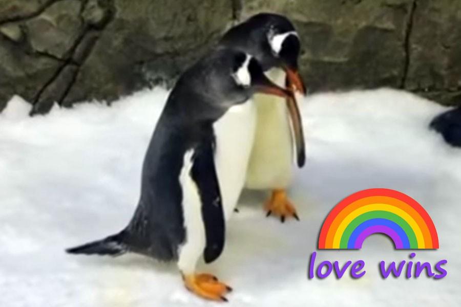 Eşcinsel penguenler ebeveyn oldu, yavruya sırayla bakıyorlar