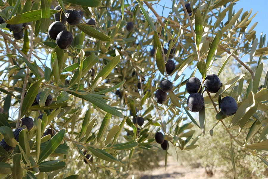 İzmir tarım müdürlüğü zeytinlikleri göremedi