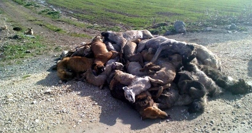 84 ölü köpeği belediye bırakmış