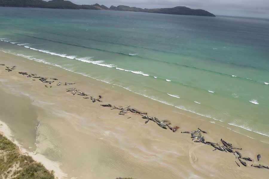 Yeni Zelanda'da karaya vuran 145 balina öldü
