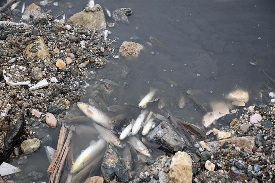 Gökırmak'ta toplu balık ölümü: Çok sayıda balık kıyıya vurdu