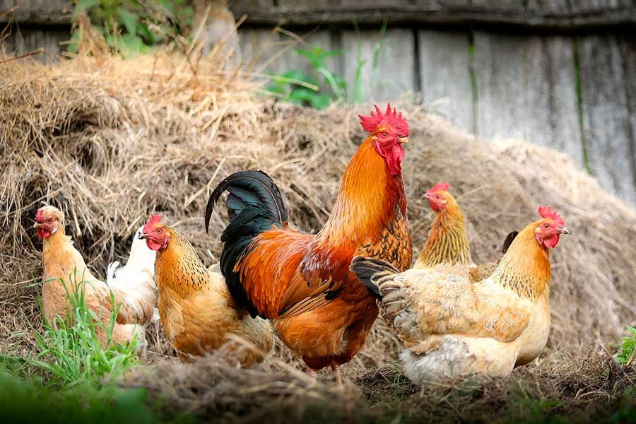 Tavuklar, yumurtalar, açılmasın aralar