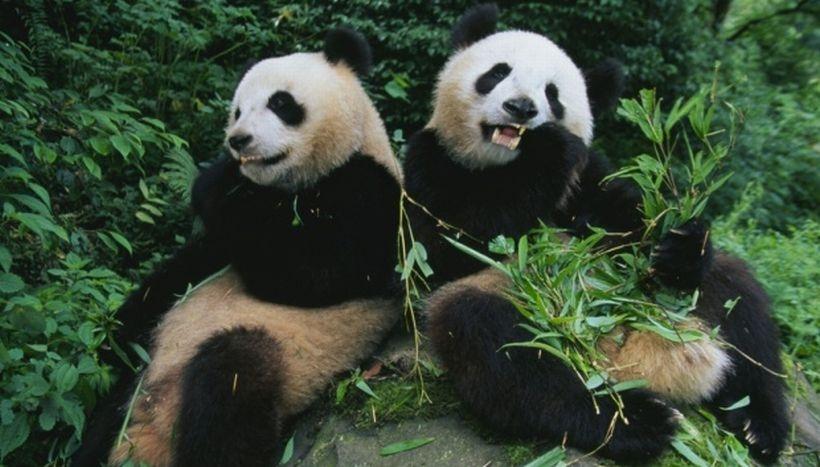 Dev panda sayısı arttı!
