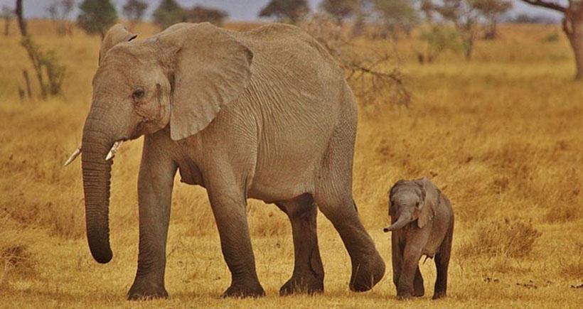 Fil avcılığını durdurabilmek için 15 ton fildişi yakıldı