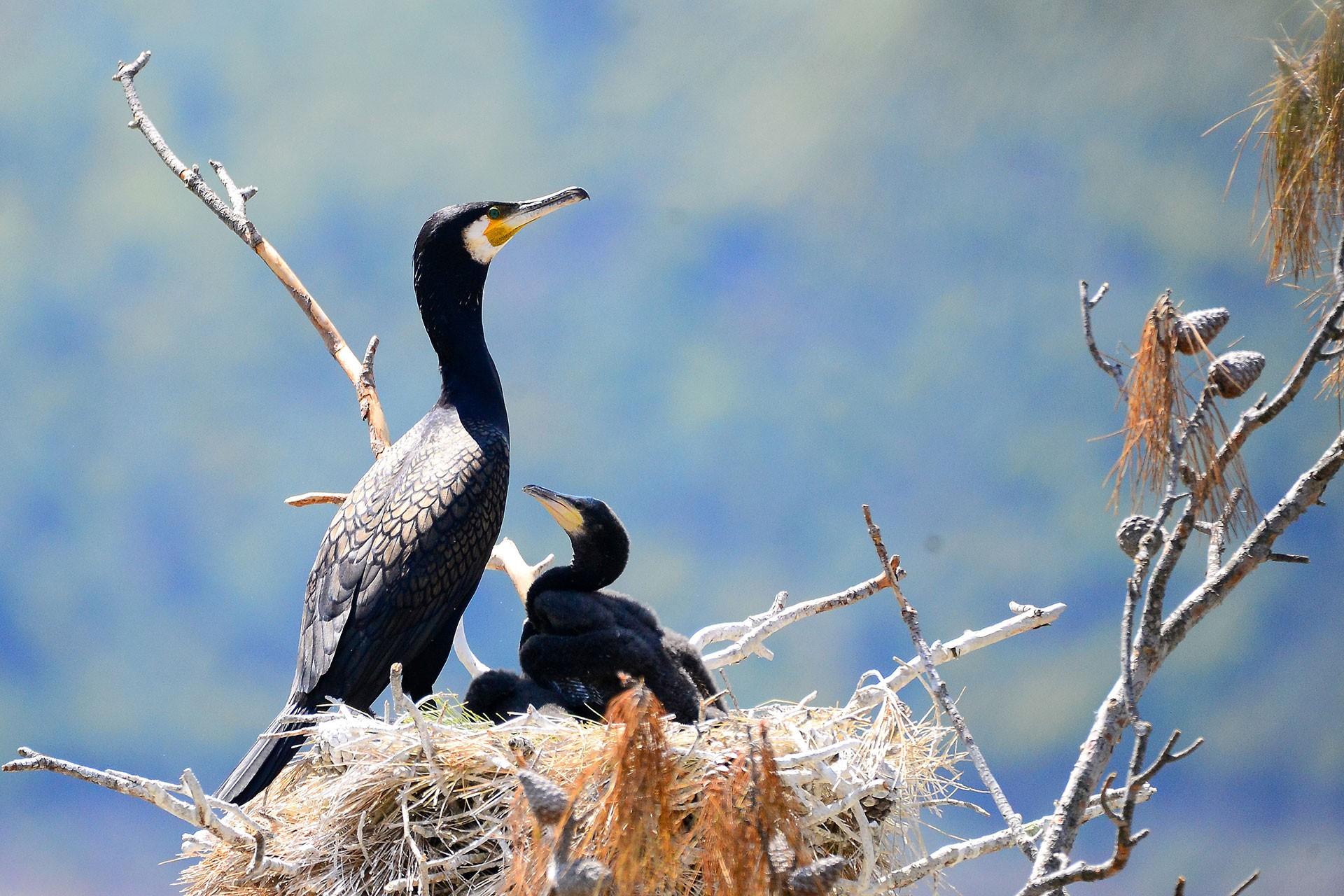Baharın gelişiyle kuş yuvalarında yaşam mücadelesi hızlanırken, anne karabataklar yavrularına yemek taşıma telaşı içinde.