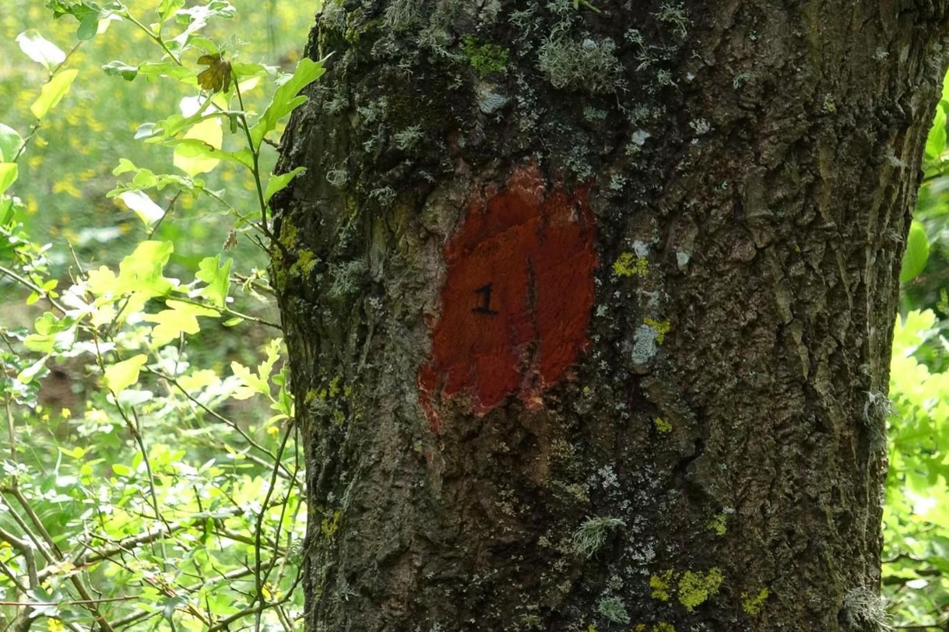 Taş ocağının yapılacağı bölgede ağaçlar numaralandırıldı.
