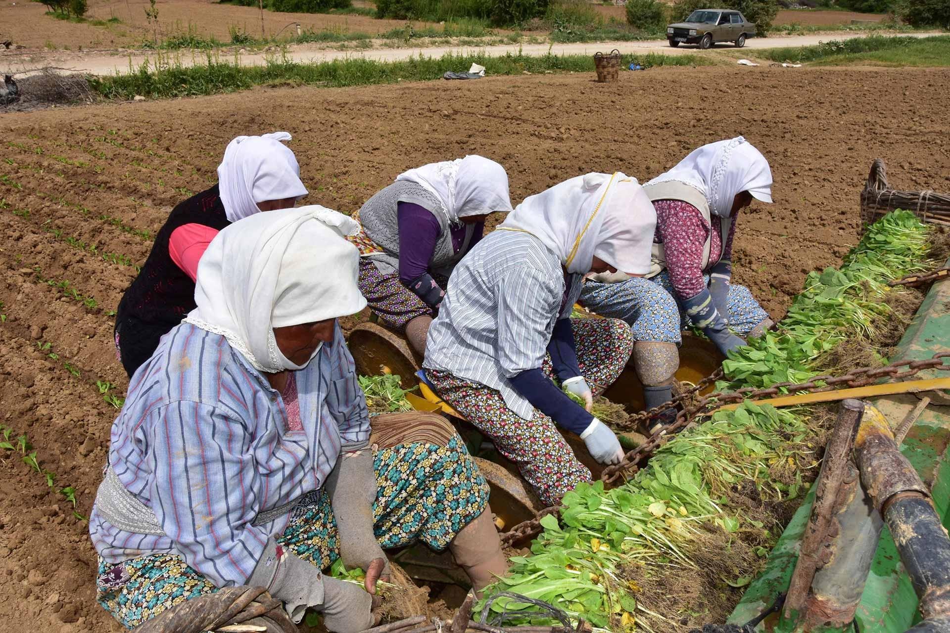 Muğla ve ilçelerinde yaklaşık bin kadar kadın işçi tütün tarlalarında çalışıyor