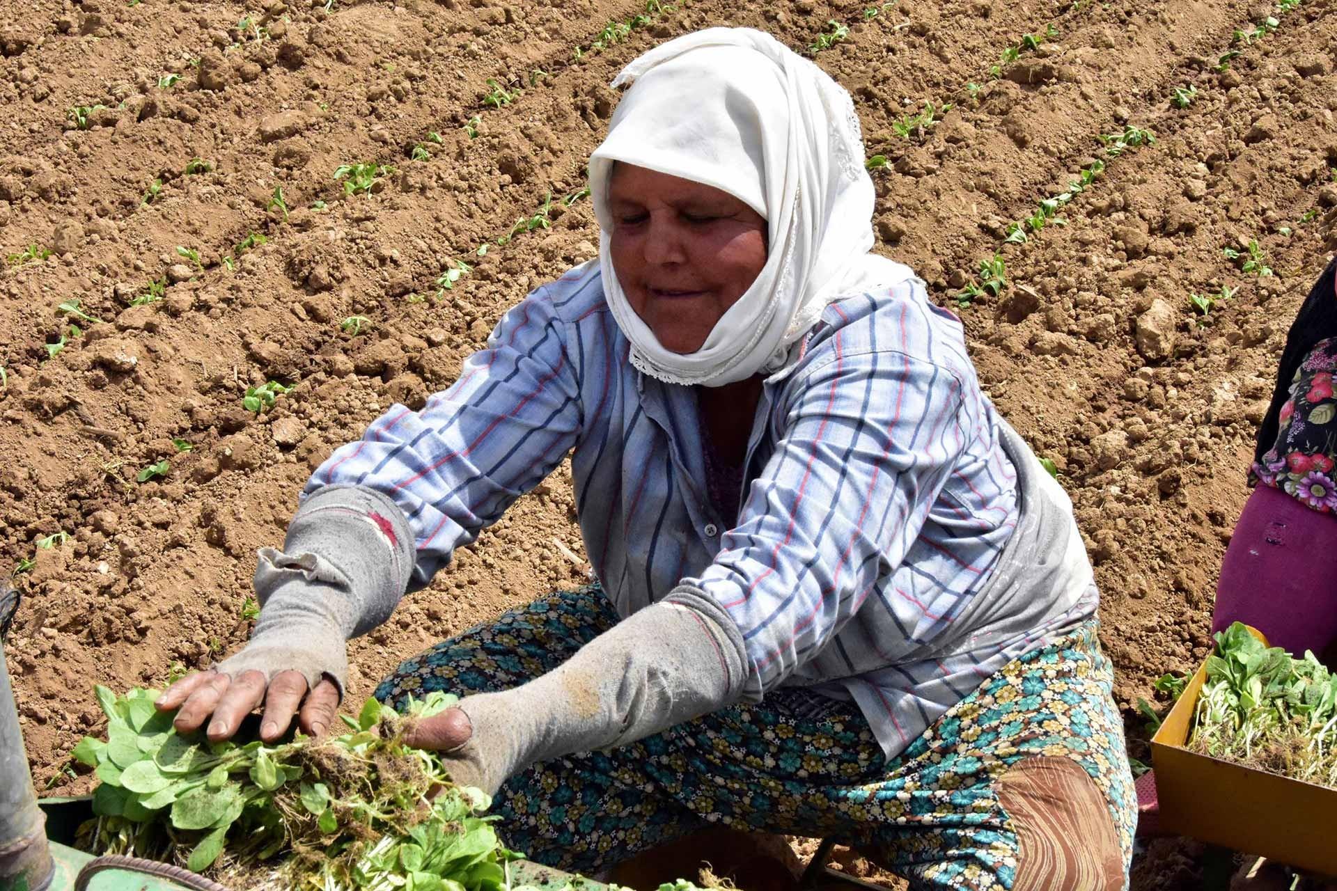 Kadınlar sabahın 7'sinden güneş batana kadar 70 lira yevmiye ile çalışıyor