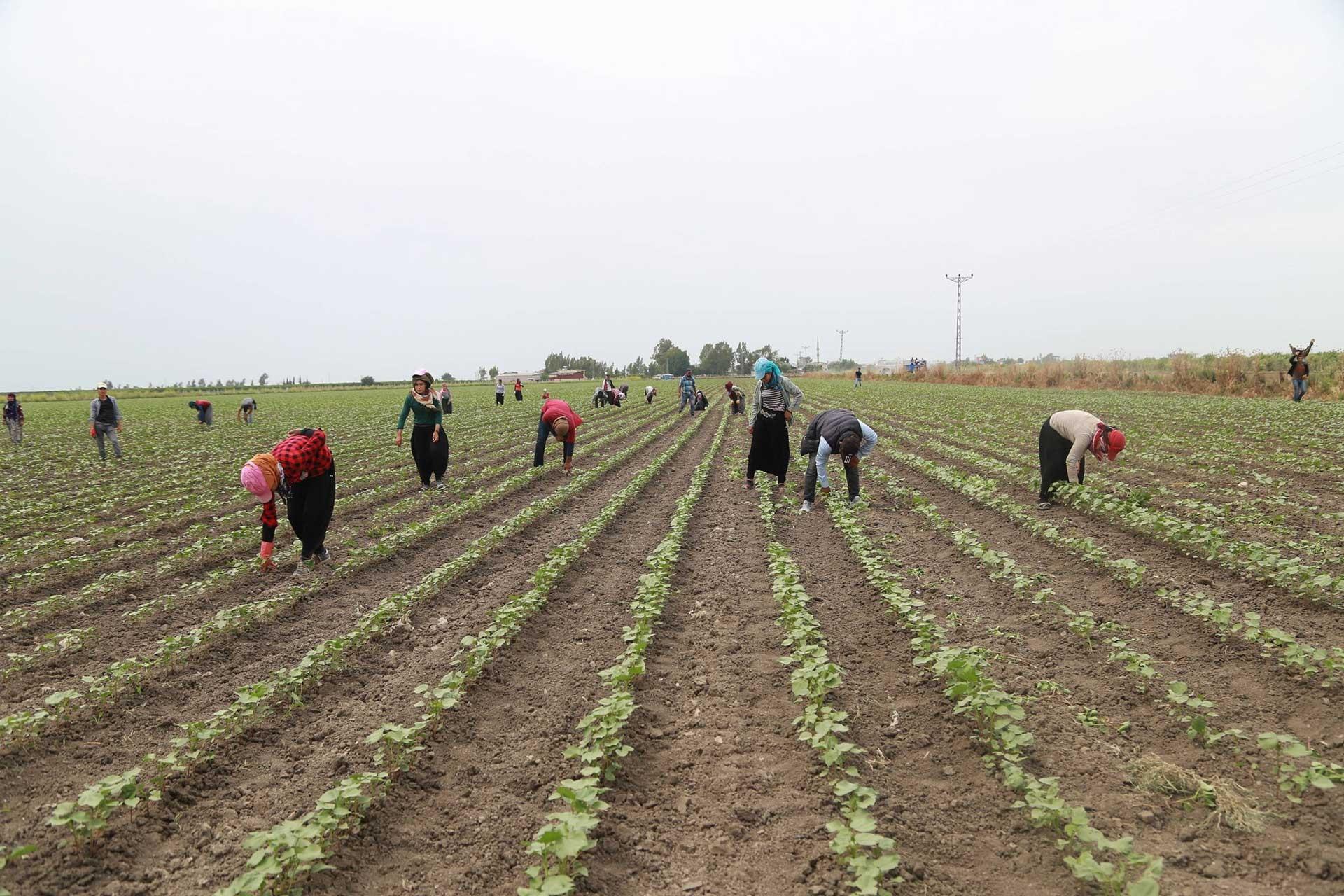 Mevsimlik tarım işçileri çocuklarıyla birlikte tüm gün çalışıyor