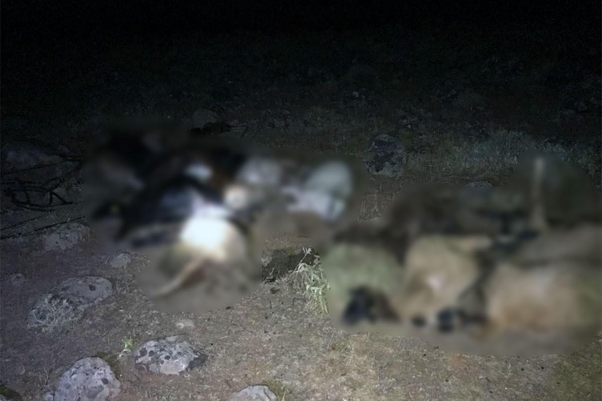 Hatay'da sudan zehirlenen 30 küçükbaş hayvan öldü