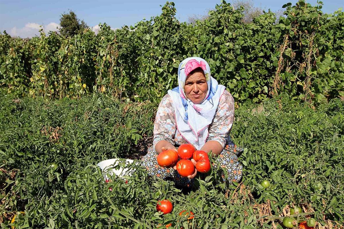 Karşıyaka Belediyesi Yamanlar domatesi için kooperatif kuracak